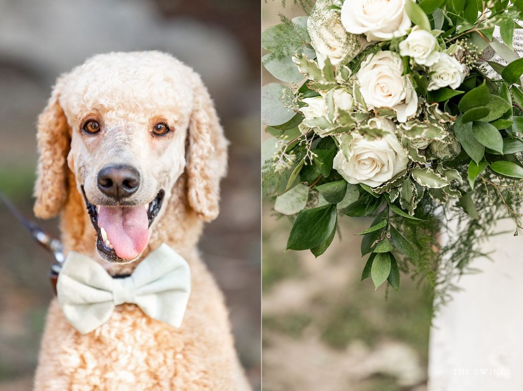Elopement wedding details, bride's bouquet and her standard poodle with coordinated wedding bowtie.